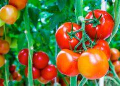 Tomato Import