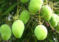 Export of Mango