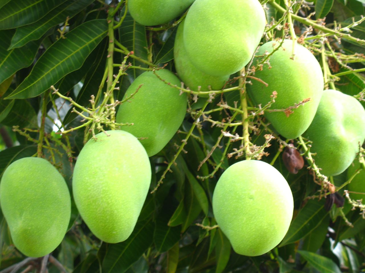 Hopes High for Beating India in mango exports | D2D Logistics